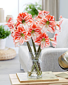 Hippeastrum 'Tabledance'