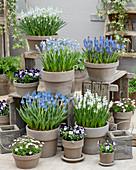 Topf Arrangement mit Muscari, Viola cornuta und Saxifraga arendsii