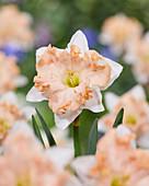 Narcissus 'Walz'