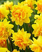 Narcissus 'Double Joy' ®