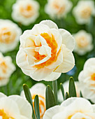 Narcissus 'Double Dee'