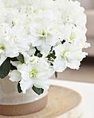 Rhododendron simsii 'Leonardo'