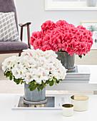 Rhododendron simsii 'Kassandra', 'Michelle Marie'