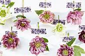 Kollage mit Blüten von Lenzrosen
