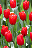 Tulipa 'Red Label'