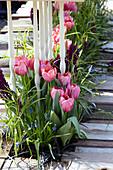 Beet mit Tulpen und Traubenhyazinthen