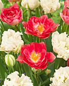 Tulipa 'Candy Cane', 'Snow Crystal'