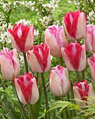 Tulipa 'Infiniti', 'Just Kissed'