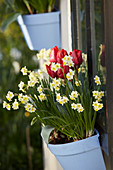 Wandtopf mit Narzissen 'Minnow' und Tulpen