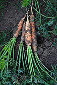 Fresh carrots in a vegetable patch