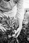 Frau erntet Paprikaschoten im Garten