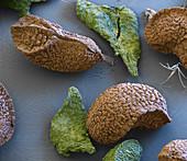 Tropical plant seeds, SEM