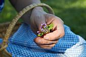 Hand hält frisch gepflückten Blütenzweig der kleinen Braunelle