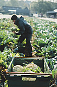 Woman standing in field, harvesting cauliflowers