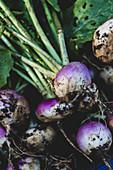 Bunch of freshly harvested turnips