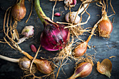 Freshly picked shallots and red onions
