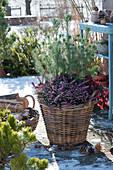 Korb bepflanzt mit Pinien und Winterheide