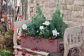Holzkasten mit Pinien, Christrosen und Lavendel, dekoriert mit Hagebutten und Zieräpfeln