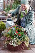 Frau gießt Korb mit Skimmie, Purpurglöckchen und Günsel