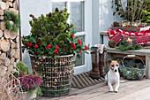 Großer Drahtkorb mit Kiefer, Fruchtskimmien und Lichterkette, Hund Zula