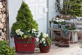 Winterliche Terrasse mit Zuckerhutfichte, Christrosen, Windlichtern und Zapfen