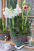 Amaryllis mit Kiefernzweigen in Jardiniere