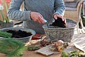 Amaryllis - Zwiebeln in Schale einpflanzen
