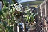 Christrose und Schneeglöckchen in Rinde verkleidet an Zaun gebunden