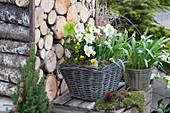 Frühlingserwachen mit Christrose, Schneeglöckchen und Winterling
