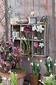 Lenzrose und Schneeglöckchen in Töpfen, Blüten in Gläschen im Setzkasten