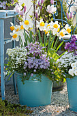 Narzisse 'Flower Record', Bohnenkraut, Gänsekresse 'Alabaster' 'Pink Gem' und Purpurglöckchen im blauen Blechkübel