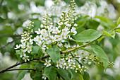 Blühender Zweig von Traubenkirsche