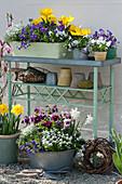 Frühlings-Arrangement mit Blaukissen, Tulpen, Hornveilchen, Stiefmütterchen, Narzissen und Steinkraut