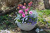 Frühlingsschale mit Ranunkeln, Blaukissen, Hornveilchen, Goldlack, Traubenhyazinthe und Greiskraut