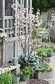 Frühlingsterrasse mit Zierkirsche, Vergißmeinnicht, Hornveilchen, Steinsame und Kräutern am Gartenhaus