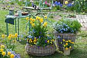 Frühlings-Arrangement im Garten: Narzissen 'Rip van Winkle', Hornveilchen, Vergißmeinnicht, Kerbel und Steinkraut