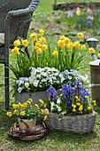 Topf-Arrangement mit Narzissen 'Rip van Winkle', Hornveilchen, Schleifenblume und Hyazinthen, Kranz aus Zweigen