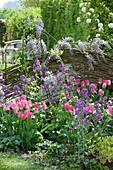 Kleines Frühlingsbeet mit Tulpe 'Dynasty', Silbertaler und Blauregen vor einer Flechtwand