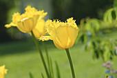 Gelb blühende Tulpe