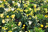 Frühlingsbeet mit Tulpen und Goldlack