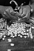 Shelling borlotti beans