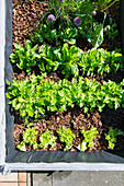 Salad in a raised bed (top view)