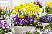 Frühlings-Arrangement mit Narzissen, Krokus, Hornveilchen und Primel