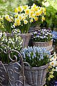 Frühlingsterrasse mit Narzissen, Traubenhyazinthen, Märzenbecher und Hornveilchen