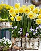 Narcissus 'Signor'