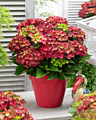 Hydrangea macrophylla 'Ruby Tuesday'