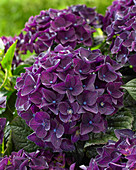 Hydrangea macrophylla 'Deep Purple Dance' ®
