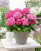 Hydrangea macrophylla 'Pink Pop' ®