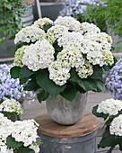 Hydrangea macrophylla 'Curly Wurly White'