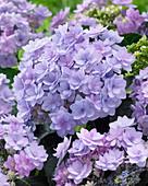 Hydrangea macrophylla 'Romance Blue'
